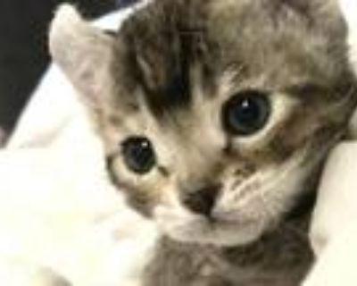 Highlander Bengal Hybrid Kittens