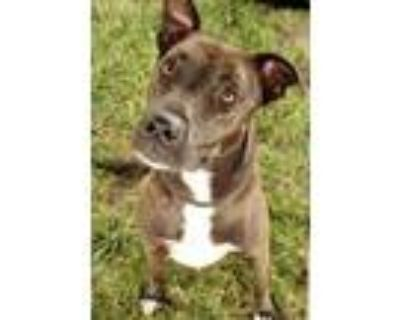 Adopt Avery a Pit Bull Terrier