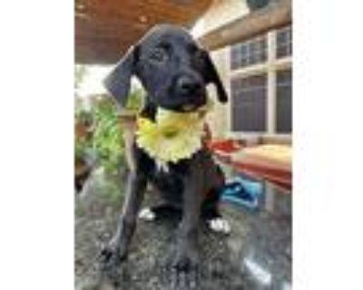 Chelsea, Labrador Retriever For Adoption In Denver, Colorado