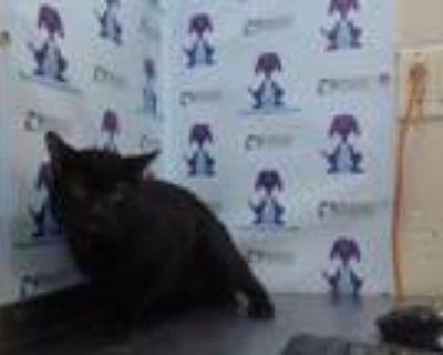 Adopt A475875 a Domestic Short Hair