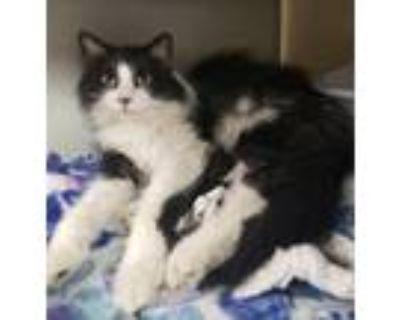 Adopt Tuxie a Domestic Long Hair, Domestic Short Hair