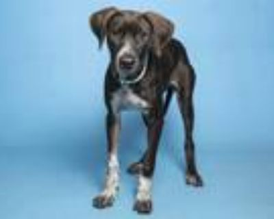 Adopt CRINKLE CUT FRIES a Black American Pit Bull Terrier / Mixed dog in