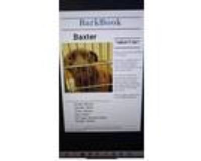 Adopt Baxter a Brown/Chocolate - with White Labrador Retriever / Mixed dog in