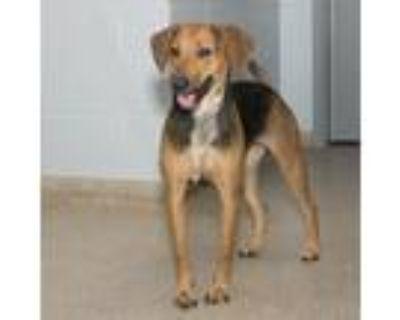 Adopt Libby a Red/Golden/Orange/Chestnut - with Black Hound (Unknown Type) /