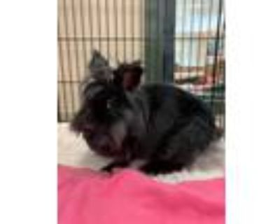 Adopt 2107-1591 Mochi a Black Other/Unknown / Mixed rabbit in Virginia Beach