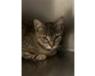 Adopt A659971 a Domestic Short Hair