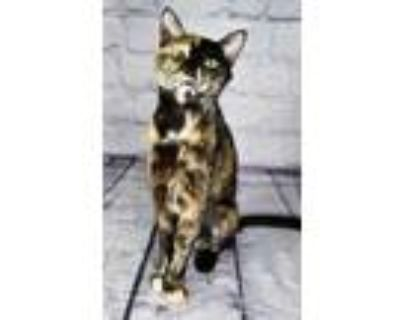 Adopt Sitar a Orange or Red Domestic Shorthair / Domestic Shorthair / Mixed cat