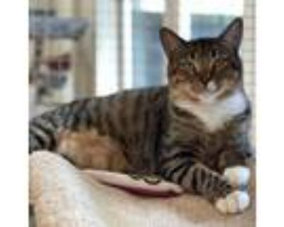Adopt Tony a Brown or Chocolate Domestic Shorthair / Mixed cat in Cumming