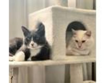 Adopt Yeti and Cabbage a Siamese, Domestic Short Hair