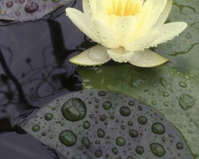 Hardy yellow water lily #1