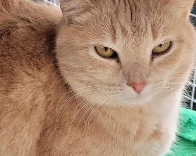 Henderson - Domestic Shorthair - Adult Female
