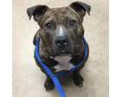 Adopt Bertha Blooms a Brindle American Pit Bull Terrier / Mixed dog in Mission