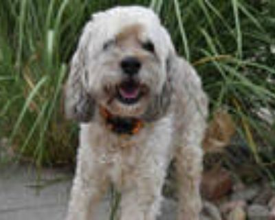 Adopt HENRY-ERNEST a White Poodle (Miniature) / Wheaten Terrier / Mixed dog in