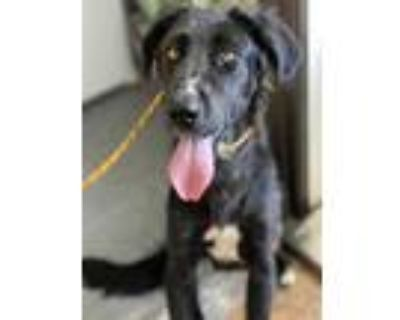 Adopt MAISY a Black Great Pyrenees / Mixed dog in Baldwin Park, CA (29611520)