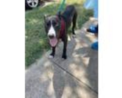 Adopt 48305996 a Black American Pit Bull Terrier / Mixed dog in Fort Worth