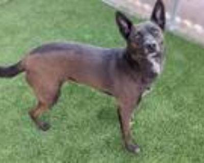 Adopt SAGE a Brown/Chocolate Australian Kelpie / Mixed dog in Chandler