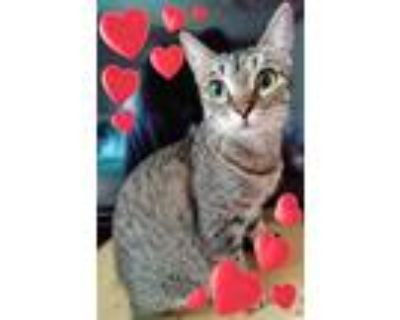 Adopt Suzanne a Spotted Tabby/Leopard Spotted Ocicat (short coat) cat in