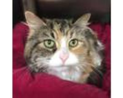 Adopt Pinky a Calico or Dilute Calico Domestic Longhair / Mixed cat in