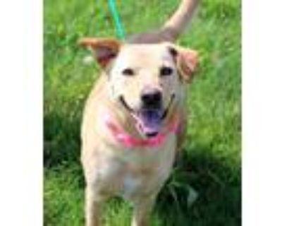 Adopt Bella a Labrador Retriever / Mixed dog in Arlington, TX (31622229)