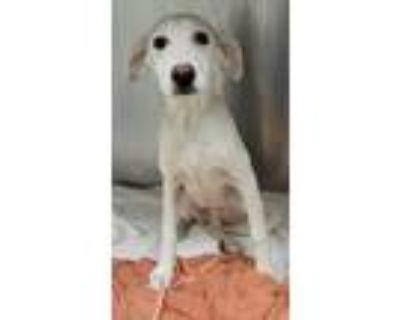 Adopt Timon a Labrador Retriever, Mixed Breed