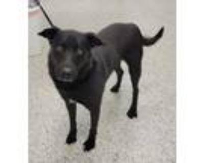 Adopt Vance a Labrador Retriever, Shepherd