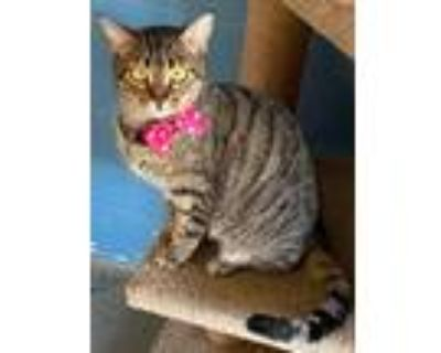 Adopt Miss Kitty a Domestic Shorthair / Mixed (short coat) cat in Boston
