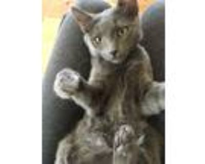 Adopt Kit Kat a Gray or Blue Russian Blue (short coat) cat in Hesperia