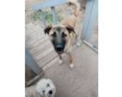 Adopt sporty a Brown/Chocolate - with White German Shepherd Dog / Husky / Mixed