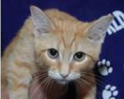 Adopt Valentino a Orange or Red Tabby Domestic Shorthair (short coat) cat in
