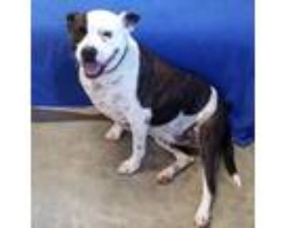 Adopt Roxi a Brindle - with White American Pit Bull Terrier / Mixed dog in