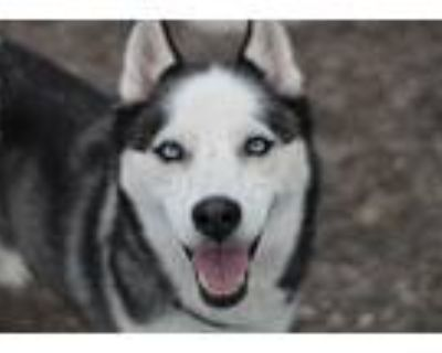 Adopt Decoy a Black - with White Siberian Husky / Mixed dog in Hibbing