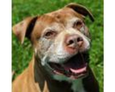 Adopt Deuce a American Staffordshire Terrier