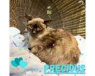 Adopt PRECIOUS a Brown or Chocolate (Mostly) Siamese / Mixed (short coat) cat in