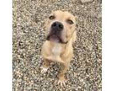 Adopt CORNDOG a Pit Bull Terrier, Mixed Breed