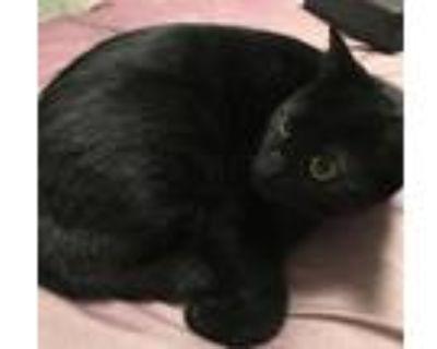 Adopt Baghera a All Black Domestic Shorthair (short coat) cat in Honolulu