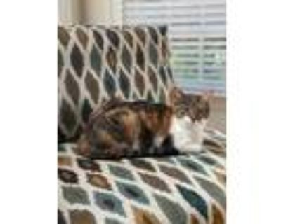 Adopt Chloe a Calico or Dilute Calico American Shorthair / Mixed (short coat)