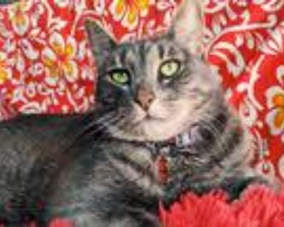 Adopt Betty White a Gray, Blue or Silver Tabby American Shorthair / Mixed