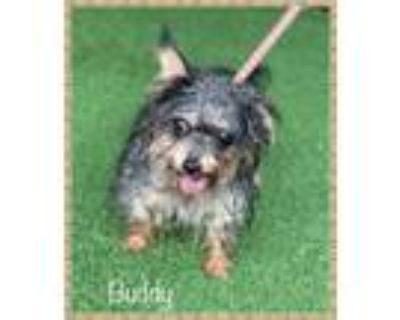 Adopt BUDDY a Yorkshire Terrier