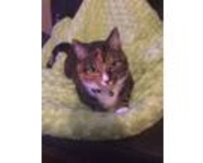 Adopt Kitty Mystic a Calico or Dilute Calico American Shorthair / Mixed (short