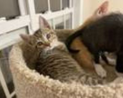 Adopt Arlo a Brown Tabby Domestic Shorthair (short coat) cat in Duluth