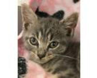 Adopt Cinderella a Domestic Shorthair / Mixed (short coat) cat in Clinton