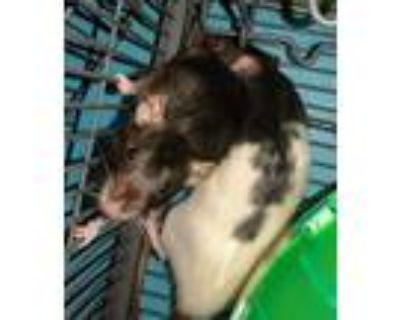 Adopt Older baby boys a Rat