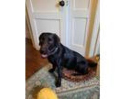 Adopt Drooly a Black Labrador Retriever, Labrador Retriever
