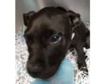 Adopt Glow a Pit Bull Terrier, Mixed Breed