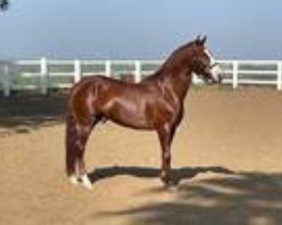 LusitanoQuarter 5 Yr Chestnut Gelding IALHA Registered