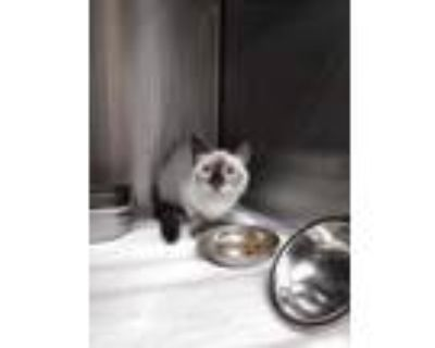 Adopt Sheba a Cream or Ivory Siamese / Domestic Shorthair / Mixed cat in Palm
