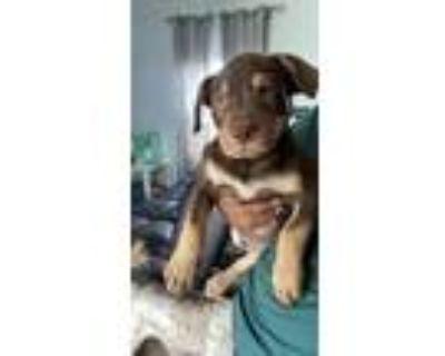 Adopt ALFALFA a Pit Bull Terrier