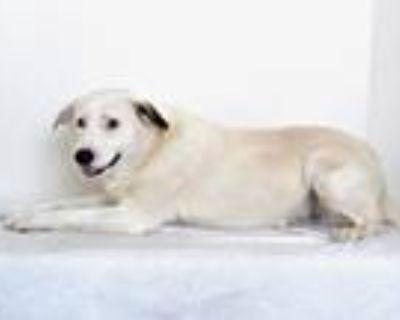 Adopt A591399 a Great Pyrenees, Labrador Retriever