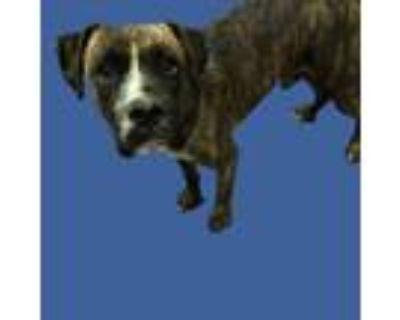 Adopt SAMSON a Boxer, Mixed Breed