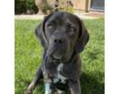 Adopt Calypso a Great Dane, Mastiff